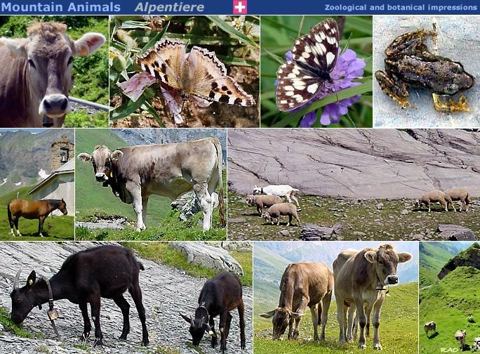 RAOnline Schweiz - Switzerland: Tiere in den Schweizer Alpen